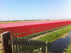 Dutch flower fields in April
