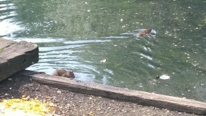 Two rats swimming in the pond at Moor Park