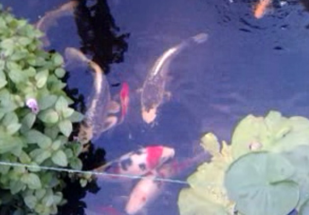 The carp pictured in the pool
