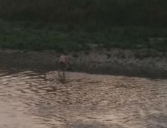 The man is seen making his way to the river bank