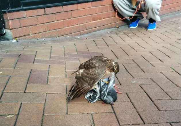 sparrowhawk1-630