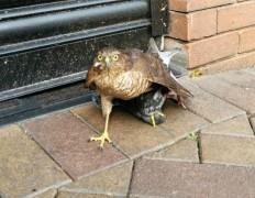 sparrowhawk3-630