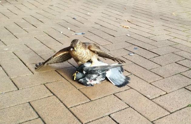 sparrowhawk4-630