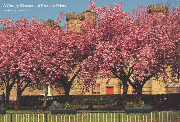 cherry-blossom630