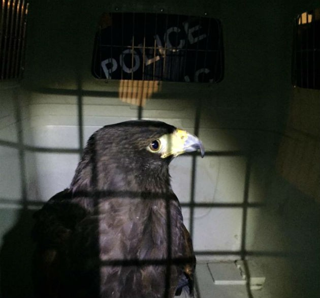 The bird of prey in cage