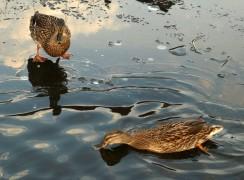 Ducks on a part frozen lake in Preston Pic: Tony Worrall