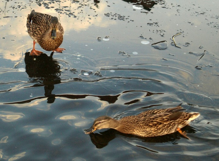 Ducks on a part frozen lake in Preston Pic: Tony Worrall