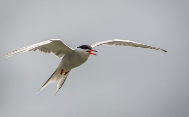 A common tern captured in flight Pic: Billy Matthews