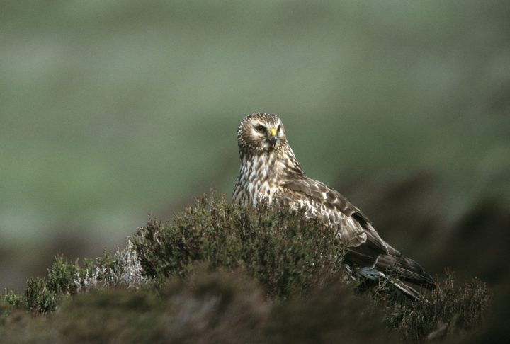 Hen harrier Circus cyaneus, adult female perched on heather, Loch Gruinart RSPB reserve, Islay, June 2002
