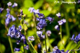 Bluebells in Brockholes Nature Reserve by Daniel McCormick