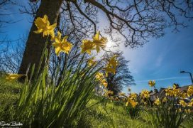 Daffodils in the Spring sunshine down near the River Ribble Pic: Sonia Bashir