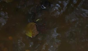 The River Lostock has turned a murky brown colour