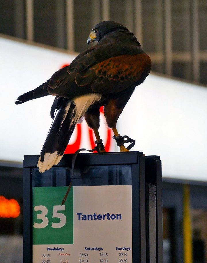 Hope the hawk has the correct change! Pic: Lancashire County Council