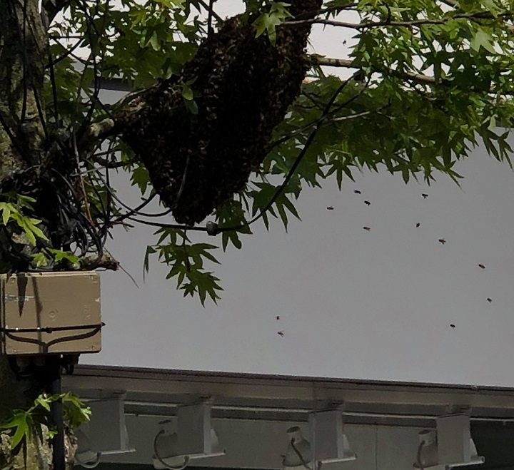 The bees were seen coming and going from the tree in Fishergate Pic: Jammie O'Brien