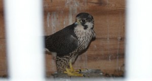 Making its recovery: The bird of prey was nursed back to health