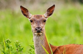 Red deer can be seen in Preston's Crematorium which has become a haven for wildlife