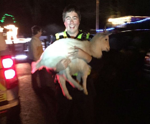 Got ya! One officer nabs one of the goats on the loose