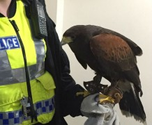A police officer with the Harris hawk