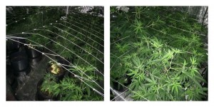 Cannabis plants uncovered by police