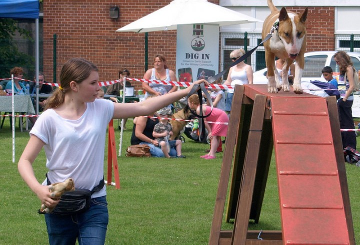 An English Bull Terrier takes on the agility course at Ruffs Pic: Tony Worrall