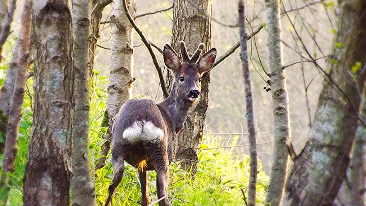 An increasing number of deer have been spotted at Brockholes Pic: Spud Frawley