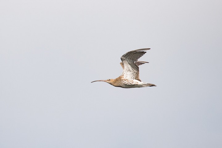 Curlew in flight near Preston Pic: Joe Hayhurst