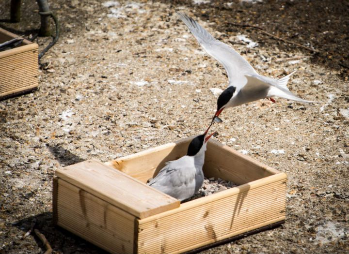 A common tern feeding a chick Pic: Billy Matthews