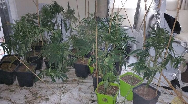 The cannabis plants were on both floors of the house