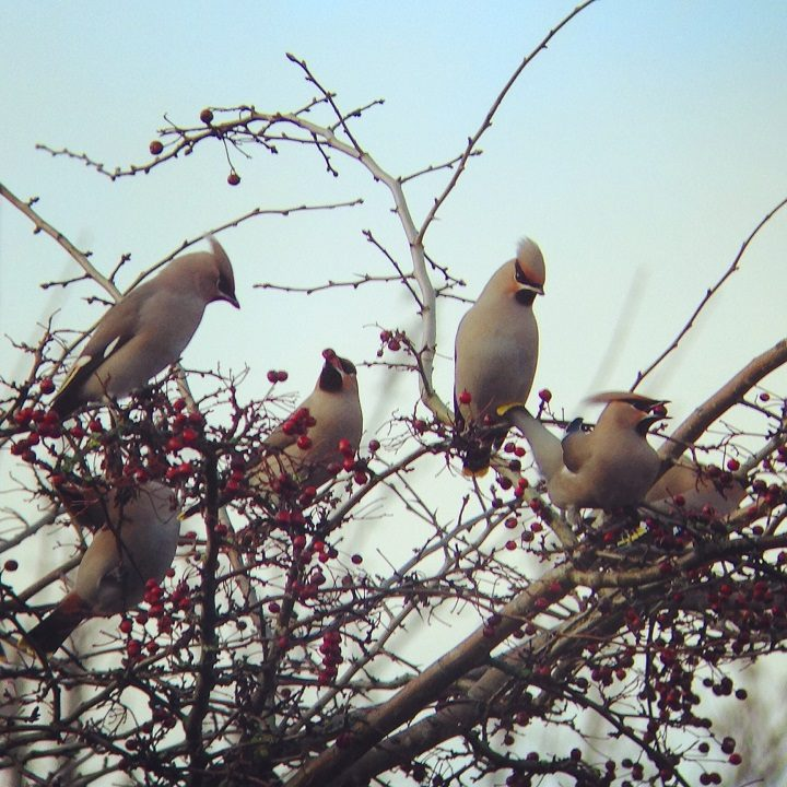Waxwings watching over the university campus