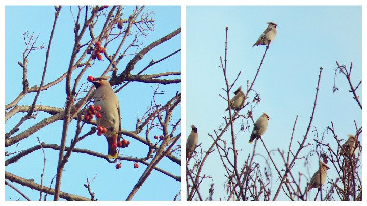 Waxwings have been spotted around Preston Pic: Nick Patel