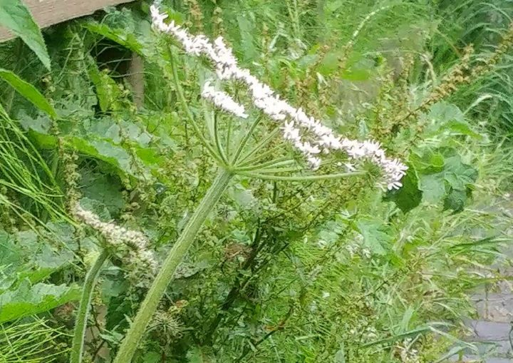 A close-up of the cows parsnip seen growing in Preston