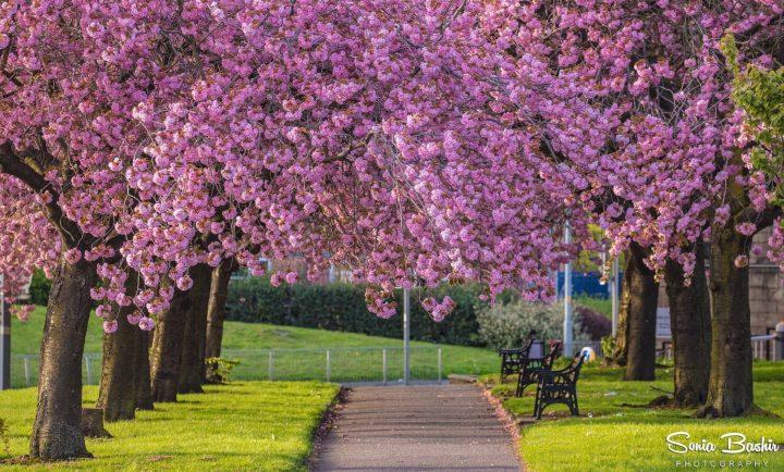 Blossoms on the walkway near Preston Prison