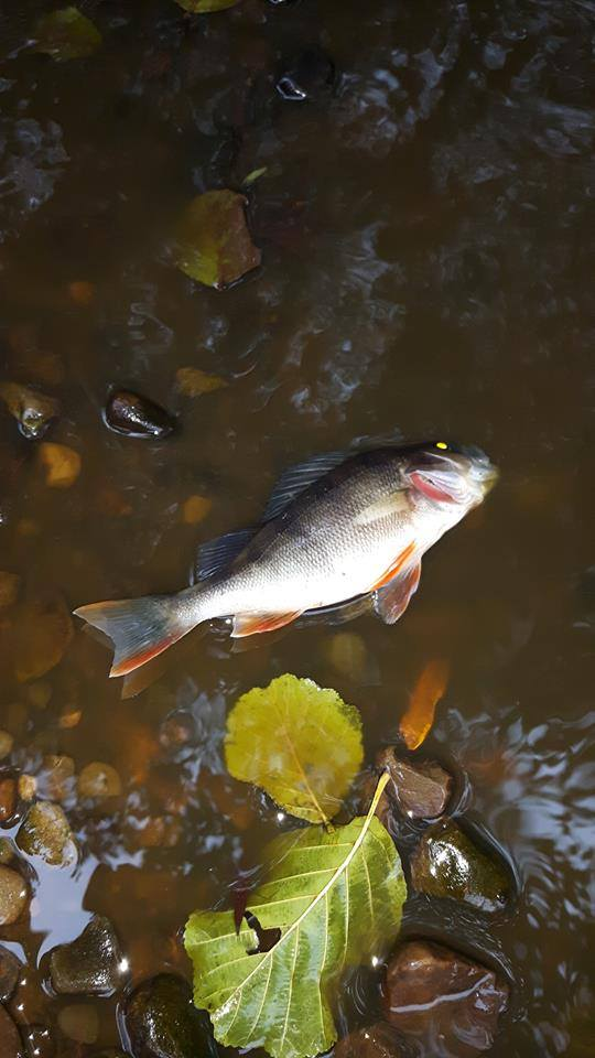A number of dead fish are floating on the service Pic: Cuerden Valley Park