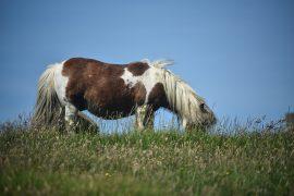 A Shetland pony grazing Pic: Brenda Campbell