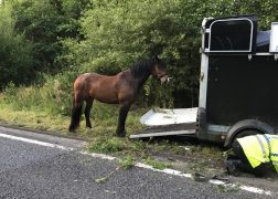 The horse caught by police officers on the motorway Pic: LancsRoadPolice