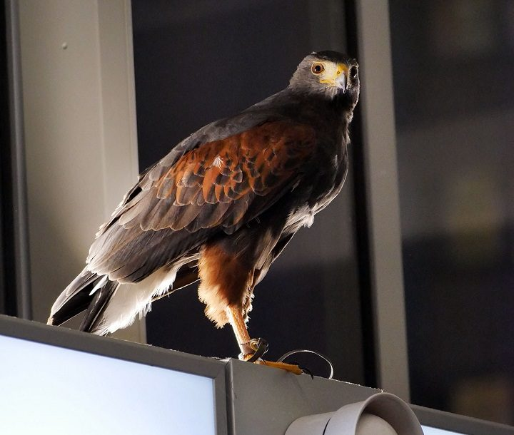 The hawk perched looking out for pigeons in the Bus Station Pic: Lancashire County Council