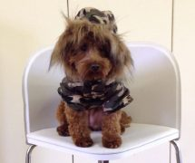 One of the entrants in the dog fashion show