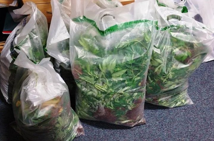 Some of the cannabis plants found during the raid