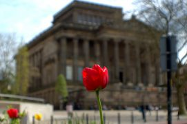 A tulip at the front of the Harris Pic: Tony Worrall