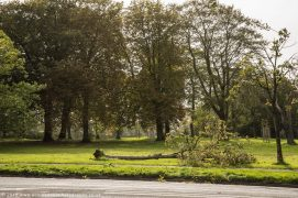 A fallen tree in Ashton Park Pic: Sonia Bashir