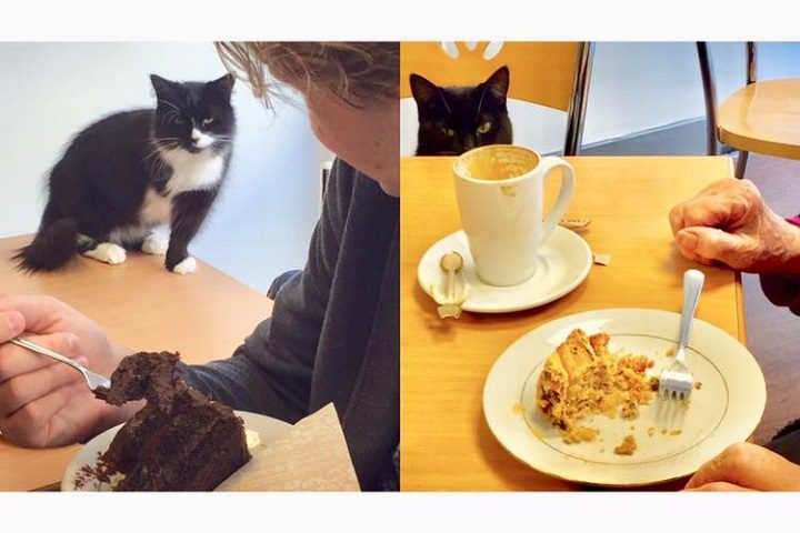 That cat's got its eyes on the cake! Pic: Lazy Cat Cafe