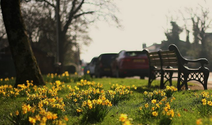 Daffodils in Moor Park Pic: Wolbadger
