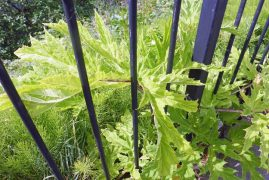 The hogweed coming through the railings Pic: Twintoo0