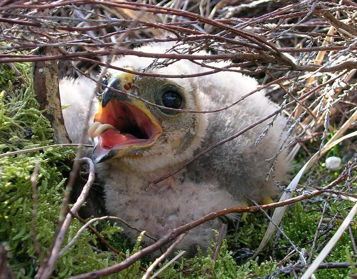 A hen harrier chick Pic: RSPB