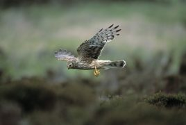 A female hen harrier in flight Pic: RSPB/Andy Hay