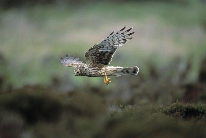 A female hen harrier in flight Pic: RSPB/Andy Hay