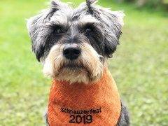 Dexter is excited about Schnauzerfest 2019