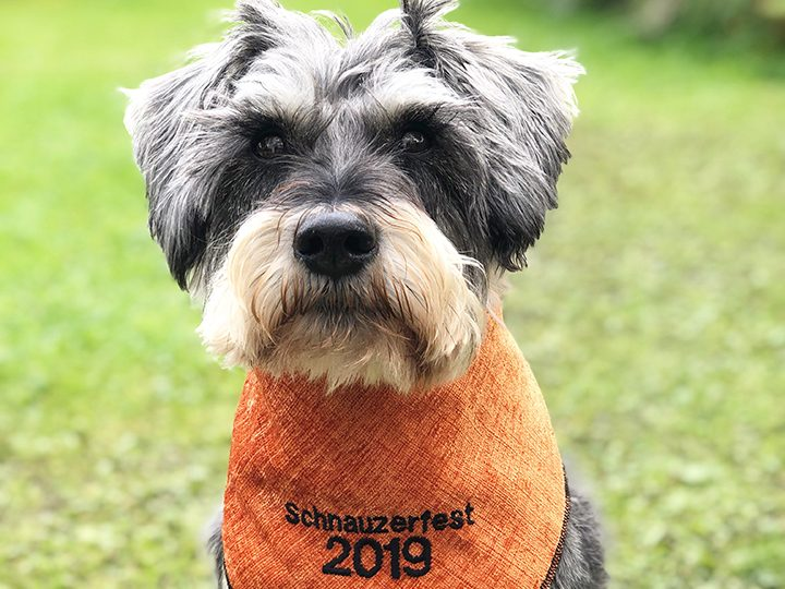 Dexter is excited about Schnauzerfest 2019