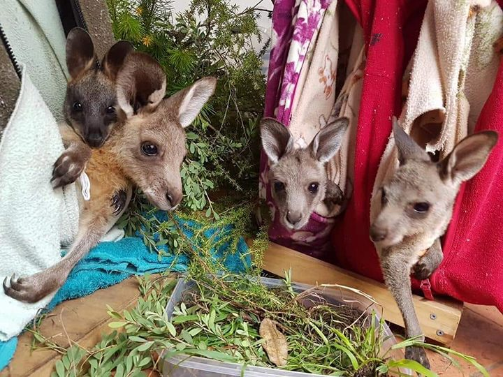Kangaroos in crafted pouches