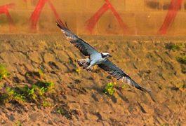 The osprey in flight at Brockholes Pic: Steven Taylor